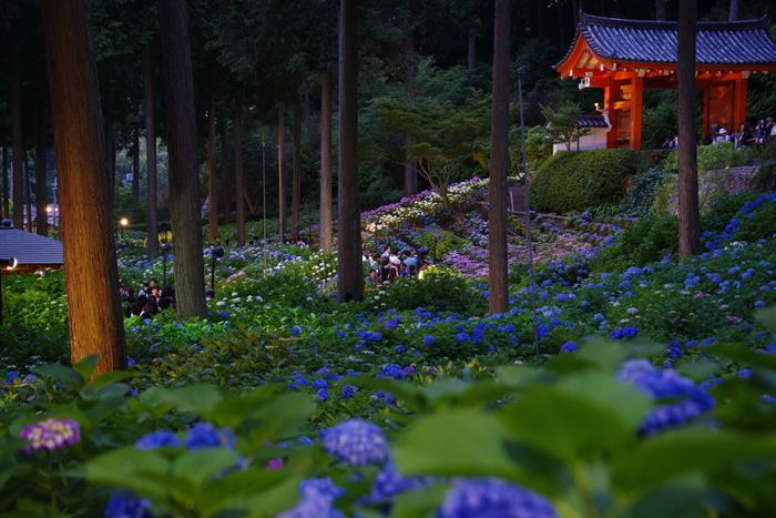 開園期間中の土日はライトアップが実施され、特別に夜間解放されます(2018年は、6月9日~6月24日)。昼間とはまた少し違った、幻想的な世界が広がります。