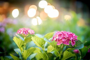 光に照らされたあじさいの色は、一層くっきり。昼間に雨が降った日は、雫がキラキラと光り、またそんな姿も美しいもの。昼夜入れ替え制なので、どちらか一方または、どちらも楽しんでみたいですね。