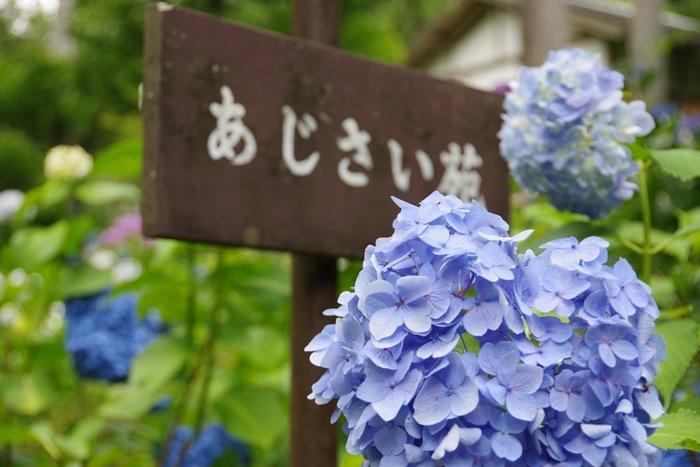 境内の「あじさい庵」では、約3000株のあじさいが、6月中旬から7月中旬にかけて咲き誇ります。