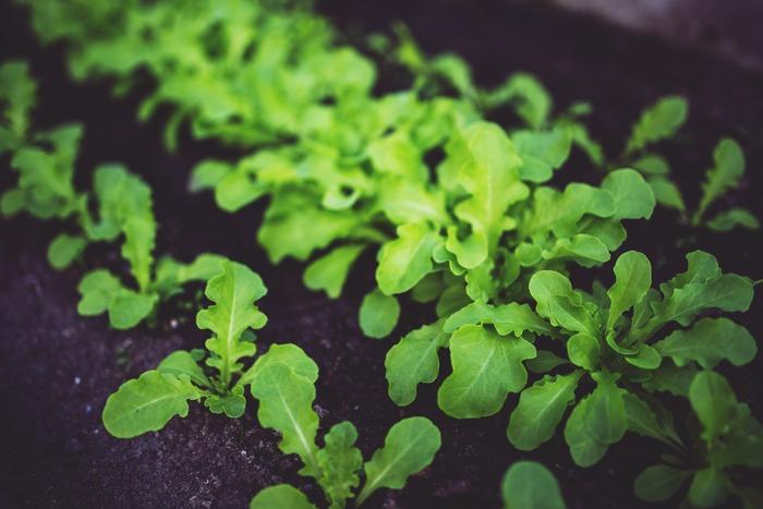 ルッコラはロケットとも呼ばれ、ゴマのような香りとピリッとした辛味が特徴のハーブです。プランターで栽培しやすいため、ベランダなどで簡単にチャレンジできます。
