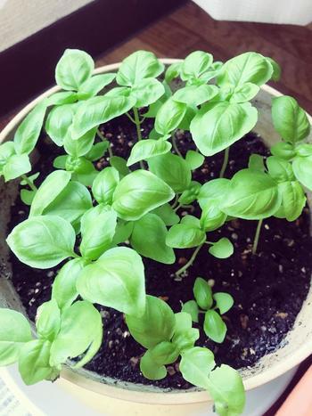 バジルは、初心者さんにも育てやすいハーブ。草丈が20cmほどに成長したら、先端を切って(摘心と言います)わき芽を伸ばしてあげましょう。茎の両サイドのわき芽が伸びていくので、この摘心を繰り返と、どんどん葉っぱが増えて、たくさん収穫することができますよ。