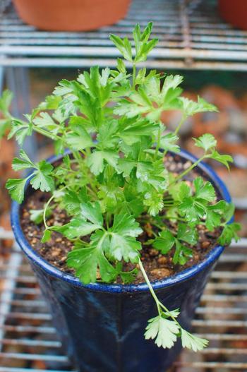 種から育てると発芽に時間がかかるため、初心者の方は苗の方がおすすめです。日当たりのいい場所や明るい日陰に植木鉢を置きましょう。乾燥すると葉が硬くなってしまうので、水切れしないよう土の表面が乾ききる前に水やりをします。 葉が10枚以上になったら収穫が可能で、葉を常に8~10枚残すようにして使いましょう。