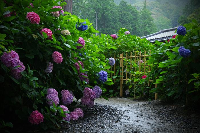 ちょっと憂鬱な梅雨の季節の楽しみ、私たちに可憐な姿を見せてくれる「あじさい」。青や紫はもちろん、白やピンクなどさまざまな色で私たちを楽しませてくれますよね。どんなお花も晴れ空の下では美しいですが、あじさいのように曇り空や雨模様が似合うお花は他にないのでは?