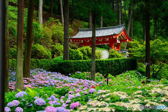 三室戸寺では、毎年6月上旬から7月上旬のあいだ、あじさい園が開園します(2018年は、6月1日~7月8日)。そこはまるであじさいの海。見渡す限りあじさいが広がるその景色は、思わずため息が出るほど美しく圧巻。約50品種10000株のあじさいが咲き誇ります。
