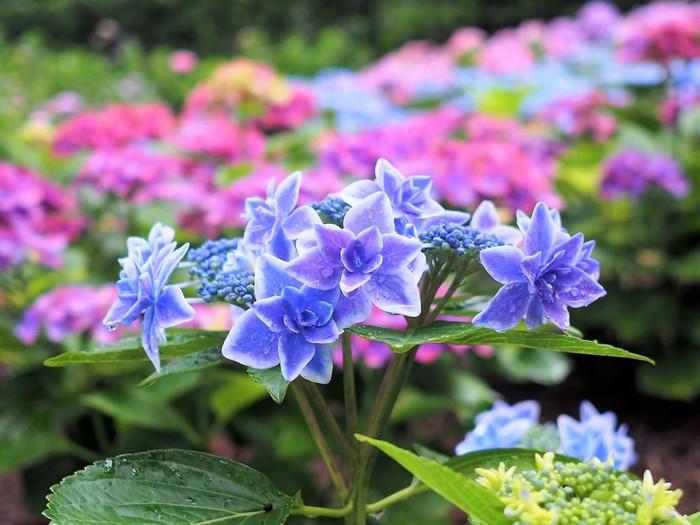 6月の初め頃から咲き始めるあじさいは、6月中旬から末頃にかけてピークを迎えます。私たちが良く知っている西洋あじさいやガクあじさいはもちろん、幻のあじさいとも呼ばれる七段花(シチダンカ)など、眺めていると「こんなあじさいもあるんだ~」と、種類の豊富なところも楽しみの一つ。