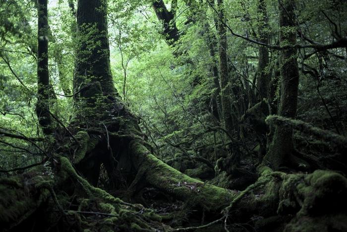 まるで別世界に迷い込んでしまったかのような、『もののけ姫』の世界そのままの森が広がっています。