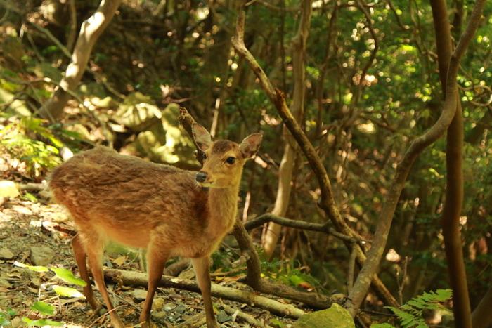 運が良ければ、ニホンジカの亜種である「ヤクシカ」に会うこともできます。凛とした表情が美しい。