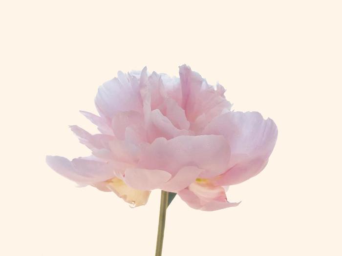 一方、こちらはボタン科。立てば芍薬座れば牡丹歩く姿は百合の花……でお馴染みの「芍薬(シャクヤク/英名:ピオニー)」です。歌に詠まれるように、一輪でも、凛とした立ち姿がとっても見事。こちらも開花のメインシーズンは6月頃とされています。