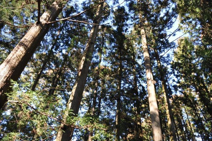 高尾山でもっとも古い人口の杉林「江川杉」。江戸時代末期に植林されたというこの杉の樹齢は約150年にもなります。昼でも薄暗い、幻想的な場所です。