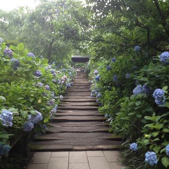"""明月院は""""あじさい寺""""とも呼ばれ、梅雨のころになると満開の紫陽花(あじさい)があふれるほどに境内に咲きそろいます。"""