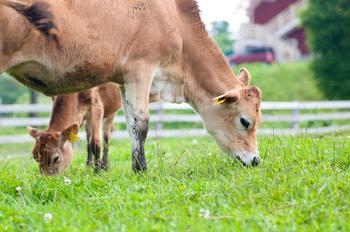 放牧中のジャージー牛。清泉寮の濃厚なソフトクリームにミルクを提供してくれます。