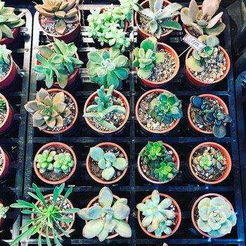 太陽の光と風通しの良いところが大好きな「多肉植物」。プクっとした多肉植物は、乾燥地帯でも生きていけるように葉や茎に水分を溜め込むことが出来ます。そんな多肉植物は、他の観葉植物よりも水やりの回数を減らすことがポイントです。土が乾いていても、まだ葉っぱがぷっくりしたままであればお水はあげなくてもOK。葉っぱの張りがなくなってきたら「お水をが欲しい!」の合図なのであげて下さいね。  置き場所は、直射日光が当たらない明るい日陰。日陰に置くと、葉が黄色くなったり、根腐れの原因となるので気をつけましょう。