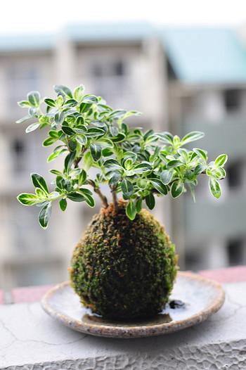 ミニ盆栽のような可愛らしさを持つ苔玉。この苔玉を綺麗に保つコツはお水のあげ方にあります。苔は他の植物と違ってしっかりとした根を持たず、根と葉っぱの両方でお水を吸収しています。なので、お水をあげ過ぎてしまうと吸収しきれず、すぐに枯れてしまいます。「お水が欲しい!」の合図は、苔玉を持ち上げた時に「軽くなった」と思った時。そのタイミングでお水を溜めたバケツに、5分ほど浸けてあげて下さい。気泡が出なくなったら終了!お水から引き上げて下さいね。  そのほか気をつけたいのは、風邪通しの良い日陰に置いてあげること。苔類は日陰好きというイメージがありますが、やはり光合成が必要な生き物。2、3日に1回くらい、野外の日陰か半日陰に置いてあげましょうね。