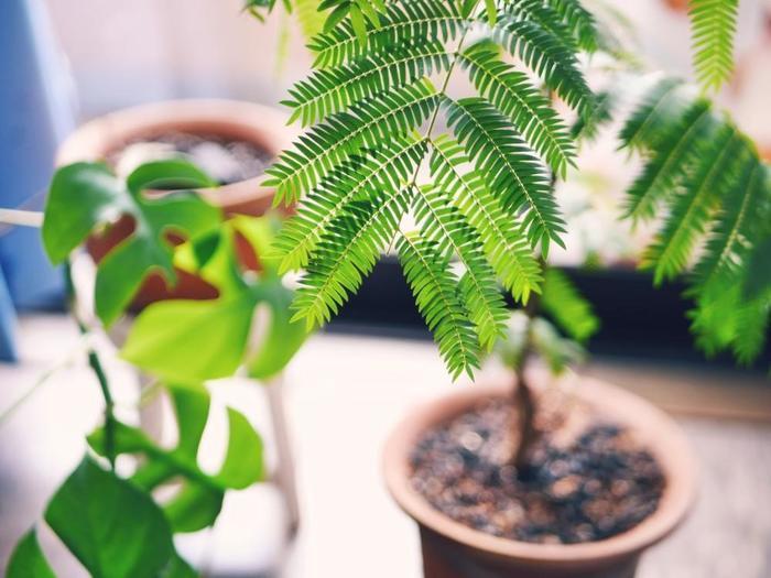 インテリア性が高く、人気の観葉植物としてあげられることも多い「エバーフレッシュ」は、東南アジア原産のマメ科の植物。昼間は葉っぱを広げていますが、夜になると閉じてしまう習性を持っています。風通しが良ければ日陰でも育ってくれます。