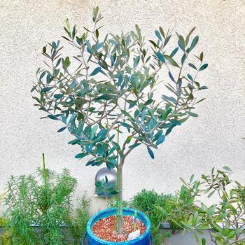地中海地方などを原産とする「オリーブ」は、日当たりの良い場所を好む植物。肉厚の葉っぱはおしゃれなスモーキーグリーン。初夏には花を、秋には黒い実をつけます。