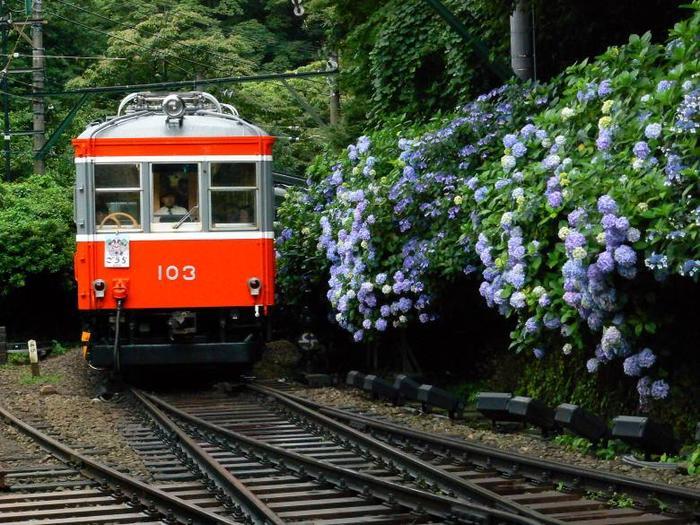 """6月中旬から7月中旬までの箱根登山電車では、通称""""あじさい電車""""と呼ばれ、沿線に咲く開くあじさいと電車の景色を目指して、毎年多くの観光客、鉄道ファン、カメラマンが当地を訪れます。あじさい電車の詳細については、以下の公式HPを参照のこと。"""