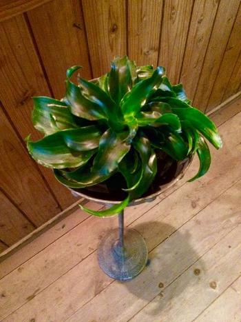 トルネードという名前の通り、くるくると渦を巻きながら成長するドラセナという種類の植物です。