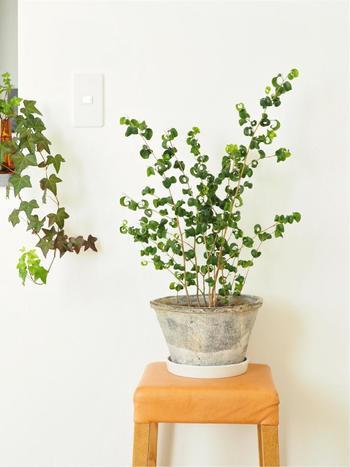 くるくるカールした植物は意外とたくさんあるんです。個性的な見た目の虜になりますね!ぜひお気に入りを見つけてみてくださいね。