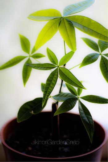 丈夫で、日本の気候に適している「パキラ」。乾燥にも強いので、冬場は毎日水をあげる必要がなく、栽培も簡単。初心者さんにも育てやすい植物です。