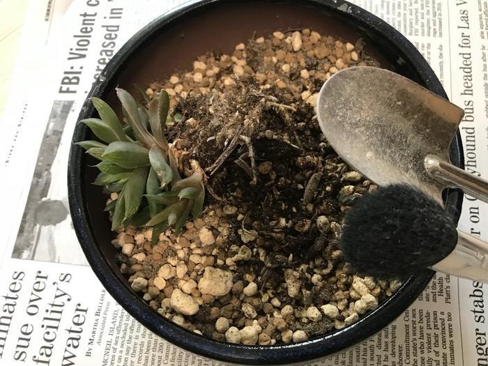 雑貨屋さんで買った植物は、植え替えてあげることですくすくと成長します。買ってすぐの植え替えが理想的ですが、少し窮屈そうになってきてからでも大丈夫です。今よりひと回り大きなポットに植え替えてあげましょう!