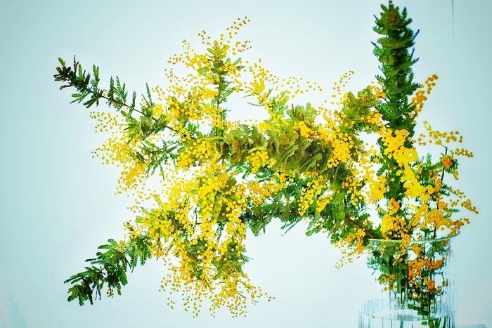 黄色くて丸いお花がかわいいミモザ。ドライフラワーにしても鮮やかな黄色が楽しめます。スワッグやリースにアレンジするのに人気の品種です。