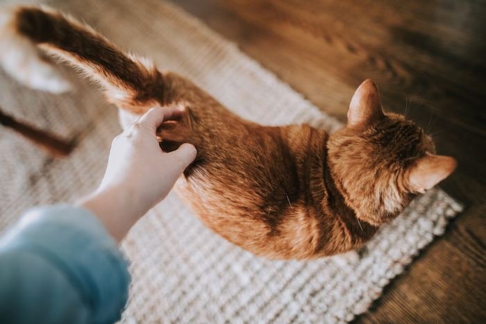 自立心が強くて個人主義なところもある猫たちですが、ときどきは誰かに甘えたくなるようです。尻尾をピンっと立てて、顔をスリスリ。「私(僕)のことを撫でて」と寄ってきます。こちらが傍に寄ると、プイっと居なくなってしまうこともあるのに。猫は究極のツンデレ、それが愛しくてたまらないというひとも多いのでは?