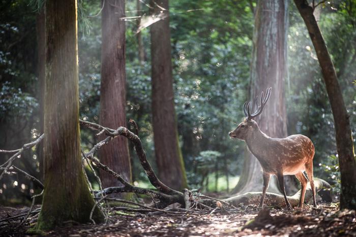 先に紹介した春日大社や東大寺があるのが「奈良公園」。せっかく奈良の観光名所が集まる場所なので、公園を散策する時間も作ってみてはいかがですか?1100頭から1200頭もの野生の鹿がいるため、いたるところで見かけることができます。販売されている鹿せんべいを手に持てば、自ずと鹿が近寄ってきてくれますよ。