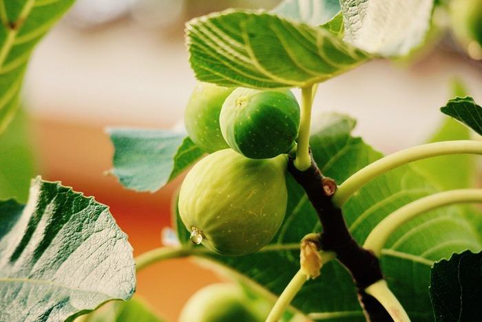 いちじくは、植物には珍しい「単為結果」という性質があり、受粉をしなくても果実が実ります。育て方は他の果樹よりも比較的簡単で、日当たりのよい場所であれば、お家のベランダなどでも育つそうです。ただし、暖かい地方が原産の植物ですので寒さには弱く、寒風が当たらないように注意が必要になります。