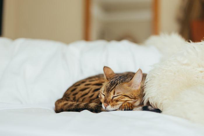 猫たちがとってもよく眠る動物であることをみなさんもご存知ではないでしょうか。彼らは、一日の大半を寝て過ごしますが、彼らがよく眠ることには理由があるのだそう。野生ではハンターの猫たち。眠ることで、いざというときに獲物を得るための体力を温存しているようです。