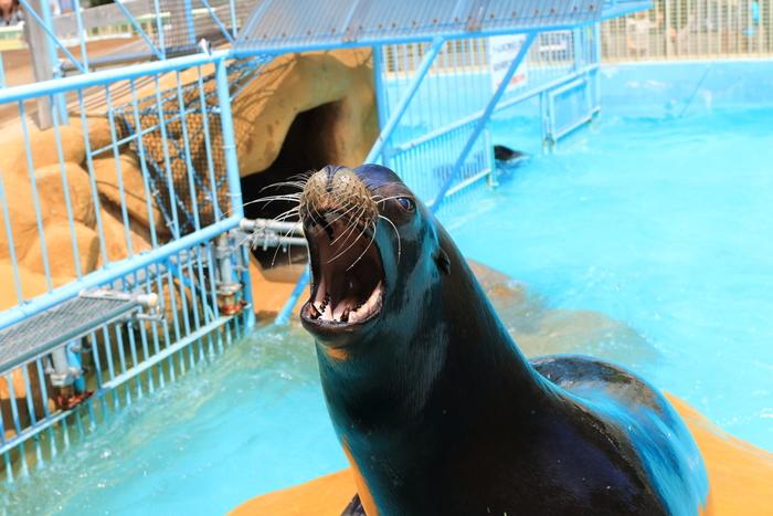 入場してすぐに出迎えてくれるのが、この動物園の人気者、愛嬌たっぷりのアシカです。11時と15時半のお食事タイムでは、いつも大勢の人で賑わいます。