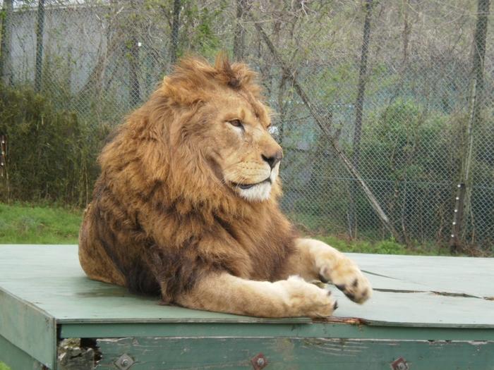 一番の人気者はやっぱりライオン。迫力ある姿は印象に残ること間違いなし。