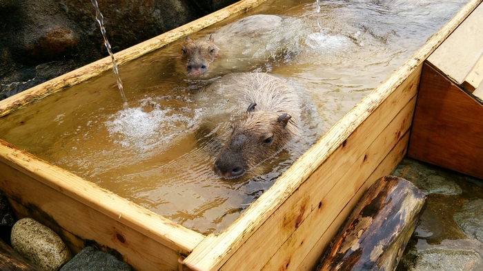 珍しくって可愛らしい人気者はカピバラ。温泉に入ってのんびりしている姿は見ている方も癒される・・・。