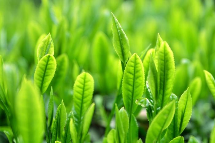 緑茶には、玉露やかぶせ茶などいろいろな種類がありますが、料理に使うなら、一般的な煎茶で十分です。また、スイーツなどなめらかな仕上がりにしたいものには、粉末のお茶などもおすすめです。