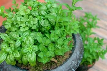 ハーブは大きな鉢に寄せ植えにしても可愛らしく、華やかに見えます。緑に濃淡があって、とても素敵です。