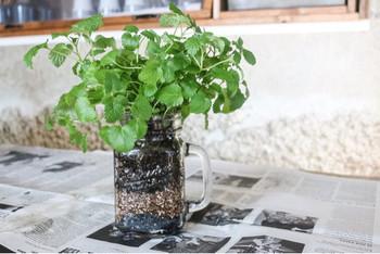 ガラス瓶で栽培すると、中に入れた土や底石などを層にして魅せることもできます。中が透明なので、水分量もよく分かります。
