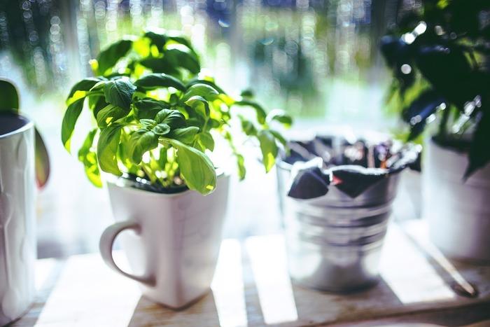 バジルは乾燥に弱いハーブです。土の表面が乾いてきたら、たっぷりと水を注いであげましょう。葉が生育していく初夏から秋にかけては週に1度程度、薄めた液体肥料を与えます。肥料も大好きなハーブなので、こまめに追肥するのを忘れないようにしましょう。