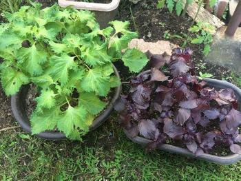 紫蘇は乾燥と低温に弱いので、水切れに注意して、しっかりと水を注いであげるようにしましょう。生育期に肥料が不足すると、葉がちいさいままになってしまいます。多湿を好むため、保水力の高い土をチョイスするといいですね。