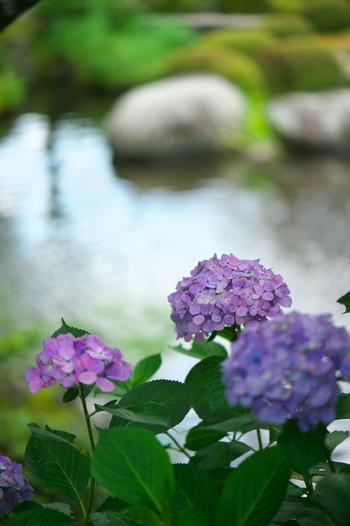 """お庭や近所の道端でも楽しめるあじさいですが、一度は訪れてみたいのが、趣のある街並みが美しい京都のあじさい巡り。""""あじさい寺""""とも呼ばれる「宇治・三室戸寺」と、京都一のあじさい景色と称される「大原・三千院」は、まさに名所。周辺の甘味処とお食事処と合わせて、ご紹介します。"""