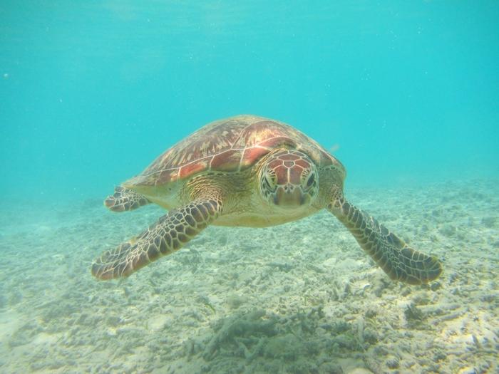 渡嘉志久ビーチは、ウミガメの生息地としても有名です。運がよければ、ウミガメに逢えるかもしれませんね。
