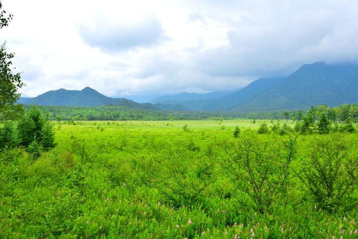 男体山の西麓に広がる戦場ヶ原は、噴火によって湯川がせき止められてできた湖に、長い歳月をかけて土砂が蓄積し、湿原になった場所です。戦場ヶ原の西側にある「小田代ヶ原(オダシロガハラ)」も同様で、どちらも湿原植物や高山植物の宝庫です。
