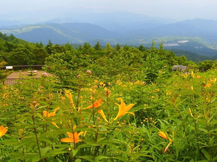 6月中旬から7月にかけて咲くニッコウキスゲ。あたり一面、オレンジ色のじゅうたんを敷き詰めたような景色が楽しめます。