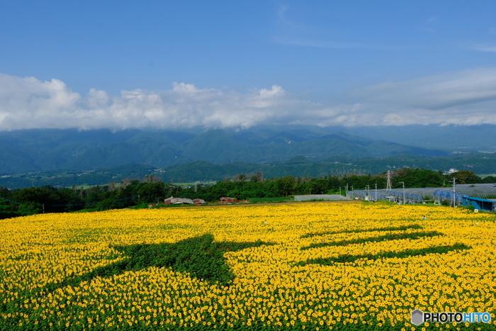 山梨県北杜市明野町は、日照時間日本一の町。中央道の韮崎または須玉ICから約15分ほど走ると、目の前に一面のひまわり畑が広がります。その数、なんと60万本!