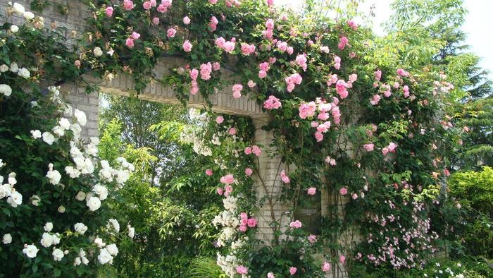 クレマチスの他に、バラを楽しむことも。バラとクレマチスの競演をお楽しみください♪