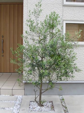 シンボルツリーはお庭の主役として植えるのはもちろんですが、玄関のアプローチ付近に配置してあげるのもおすすめです。家族が毎日通る場所なので、季節によって変わる樹木の姿や生長を身近に感じることができますし、お客様へのお出迎えの役割を担う家の顔にもなってくれます。