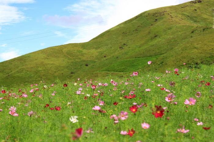 """俵山の麓に広がるのが""""俵山コスモス園""""です。毎年9月下旬から10月下旬にかけて、約100万本のコスモスが咲き誇ります。"""