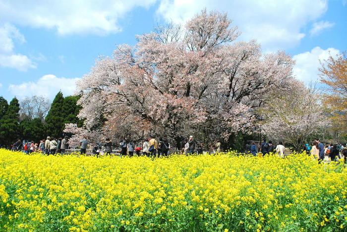 """樹齢400年以上と言われる""""一心行の大桜""""は圧倒的な美しさ。高さはおよそ14m、幹の周りはおよそ7mもある大迫力の一本桜です。"""
