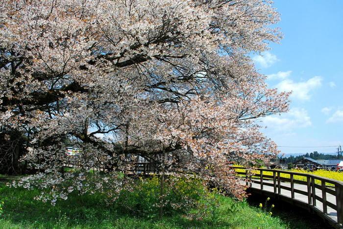 3月下旬から4月上旬が桜の見頃。満開時には全国から多くの観光客が訪れます。
