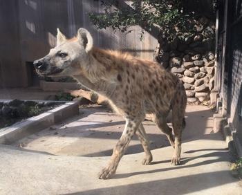 小さい動物園ながらサルの種類が多く、またクマやハイエナといった猛獣の姿も。