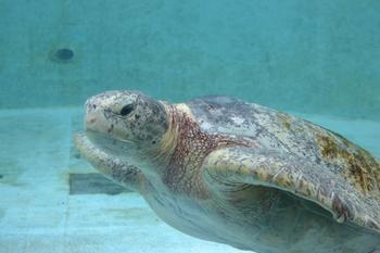 美ら海水族館は有料ですが、同じ敷地内のウミガメ館、マナティー館は無料で訪れることができます。