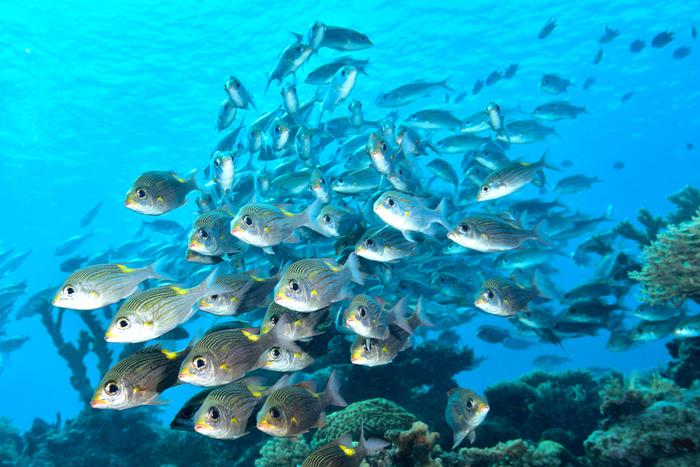 透明度の高い、珊瑚礁の海が広がる西表島はダイビングやシュノーケリングスポットとしても人気があります。色鮮やかな美しい魚たちが泳ぎ回る西表島の海の中は、まるで竜宮城のようです。